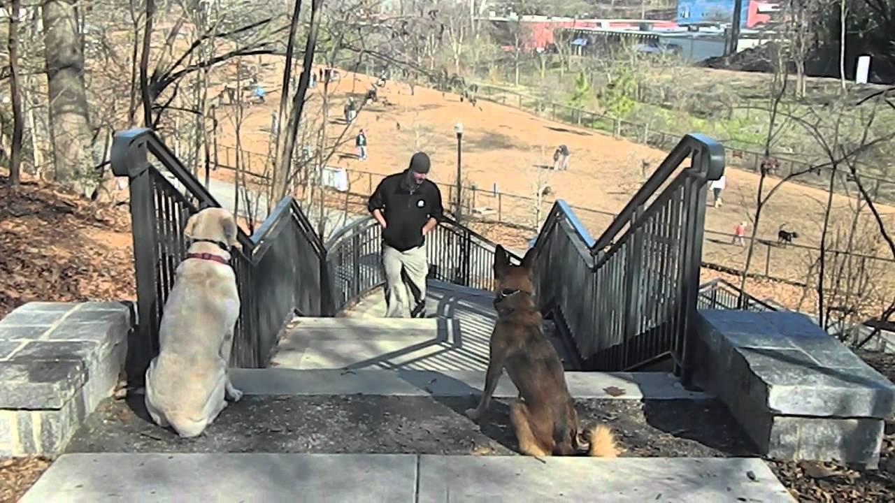 Sophie- 8 year old Labrador Retriever - YouTube