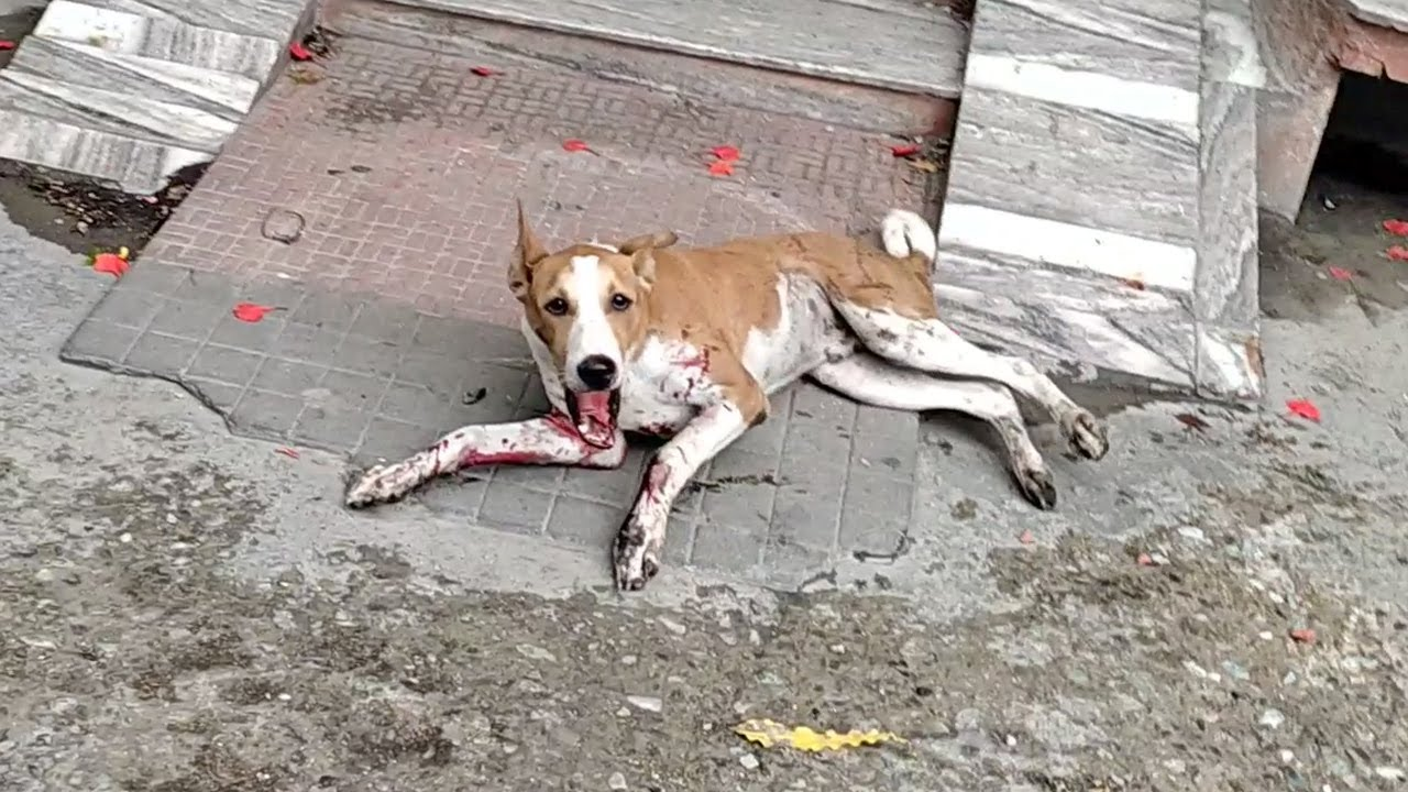 Rescue of bleeding and terrified young dog.