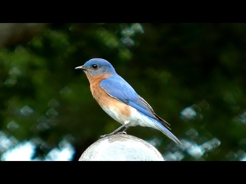 Eastern Bluebird Song FYV 1080 HD
