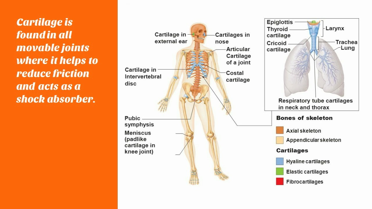 Cartilage What Is Cartilage Where Is Cartilage Located