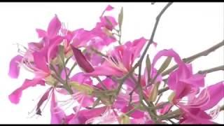 Hoa ban đỏ trên đường Trần Quốc Nghiễn thumbnail