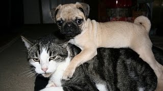 Cats And Dogs : Pugs And Cats | Pets Adoption