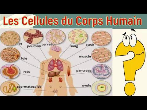 Cellule Humaine les cellules du corps humain - youtube