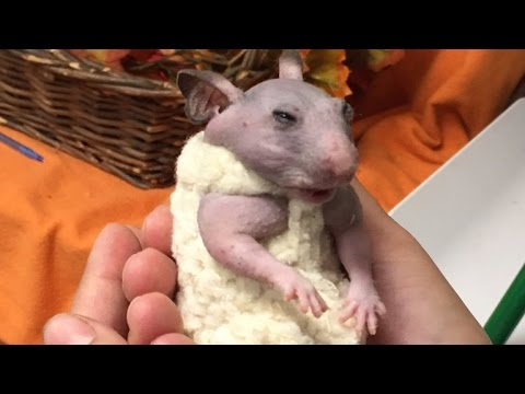 Abandoned Hairless Hamster Now Warm and Cozy Thanks To Custom Tiny Sweater