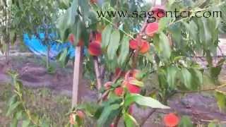 видео Саженцы персика
