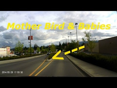Dash Cam Mother Bird & Babies
