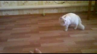 Жесть кот играет в футбол!