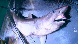 Requins des Abysses : le Requin noronhai
