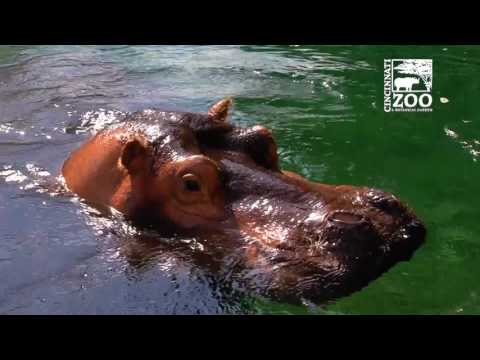 Premature Baby Hippo Fiona - What's Next - Cincinnati Zoo