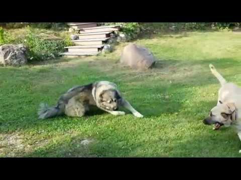 Kangal and Caucasian Ovcharka playing