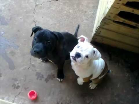 Blue Nose Pit Bull And Bulldog Rural
