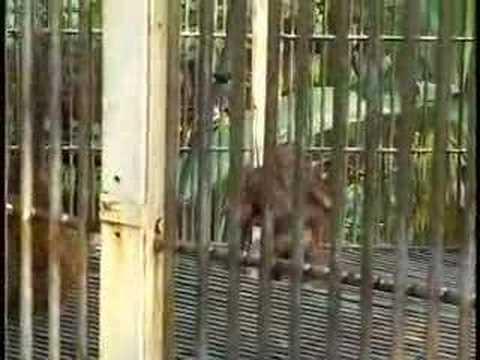 Last of the Orangutans - Borneo
