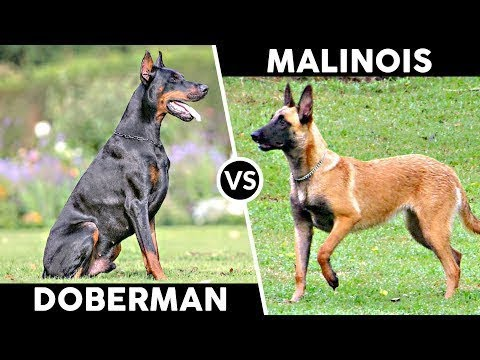 Malinois VS Doberman