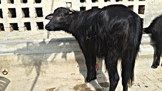GANGA-A Buffalo which  won 20 lakh money. Know Why Dairy farmers should invest in superior Breeds