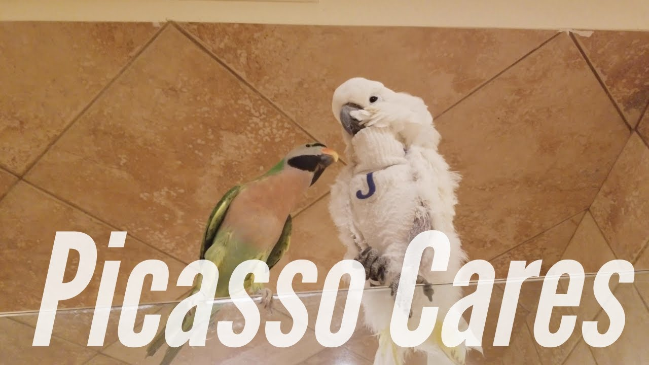 My Mustache Parakeet Picasso Tries To Console Jersey | PARROT VIDEO OF THE  DAY