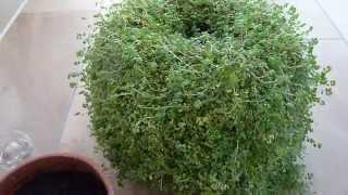 Bubikopf pflanzen | Bubikopf durch einzelne Triebe vermehren