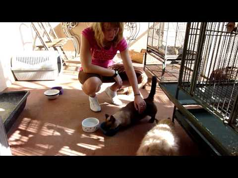 Cat born with short legs ;-(  Rescue animal shelter in FL
