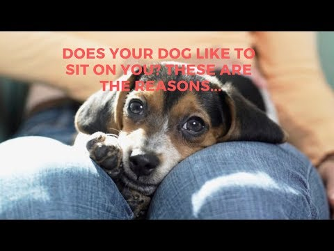 Why Dogs Like To Sit On Your Lap? These Are The Reasons