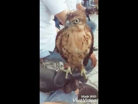 Falconry-Thú chơi chim săn mồi ở việt nam và chú chim ưng ấn
