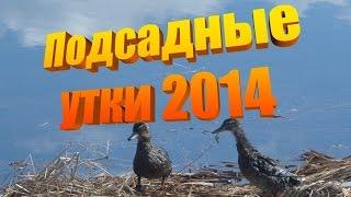 Подсадные утки на весенней охоте! Мимими видео. #Охота2014