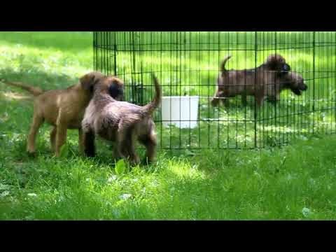 Soft Coated Wheaten Terrier Mix Puppies For Sale