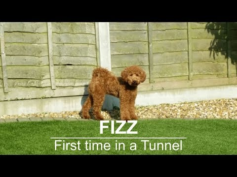 Miniature Poodle - Fizz Tunnel training
