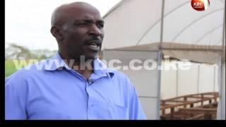 FARMTALK:  Kale farming in Makindu, Makueni County