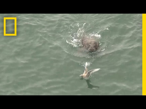 Play or Prey? Watch Walruses Interact With Seabirds | National Geographic