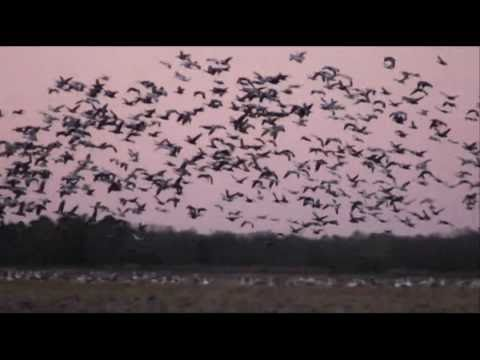 specklebelly goose calling