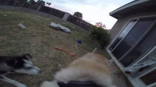 Gopro Fetch Dog Harness Siberian Husky Running