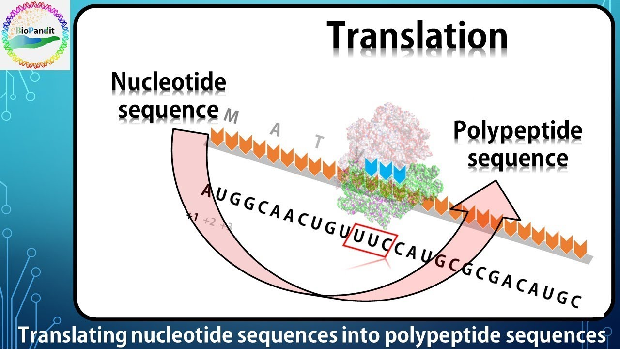 Translating Nucleotide Sequences Into Protein Sequences