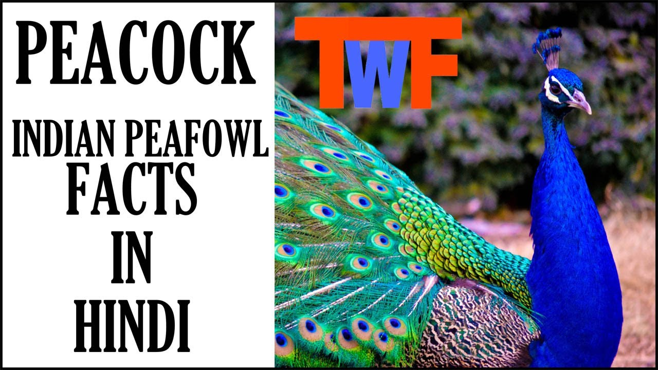 Peacock- Indian Peafowl Facts In Hindi
