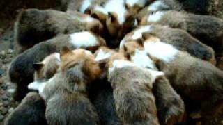 No Way!!! - 15 Corgi Puppies Having Breakfast