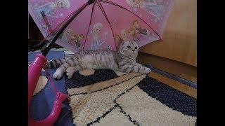 Милая Кошка под Зонтом 😻Игры с Кошкой Хлоя Scottish Fold Cat
