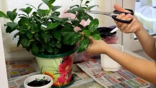 видео Размножение азалии черенками в домашних условиях, как укоренить, как ухаживать