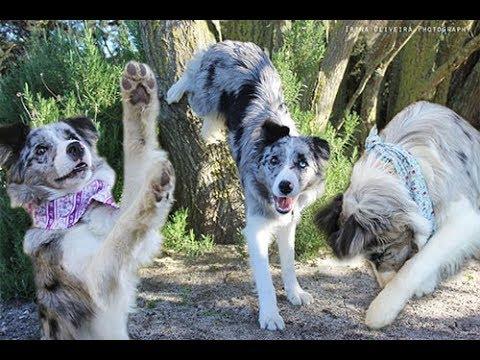 LEXA BORDER COLLIE - Dog Tricks