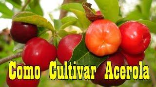 Como Cultivar Acerola