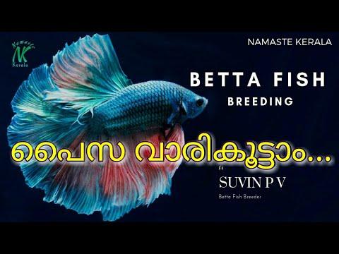 Fighter ( Betta ) Fish Breeding ഒരു സ്ഥിരവരുമാനമോ ? | Ft. Suvin P V | Namaste Kerala | Malayalam |