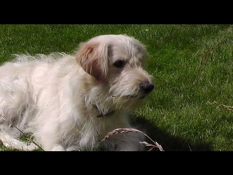 """big-brain-goldendoodle-funny-time.-ally-the-""""obedient""""-dog-training-fetch.-b-set75-2015"""