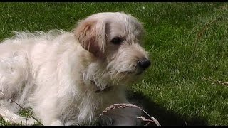 """Big Brain Goldendoodle Funny Time. Ally The """"obedient"""" Dog Training Fetch. B Set75 2015"""