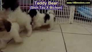 Teddy Bear, Puppies, For, Sale, in, Mobile, County, Alabama, AL, Huntsville, Morgan, Calhoun, Etowah