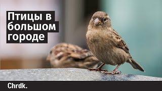 Птицы в большом городе