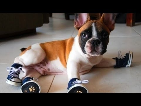 Cute French Bulldog Puppies Videos Compilation