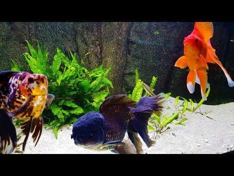 Ryukin Calico, Black Oranda And Red Ryukin. Mixed Fancy Goldfish Aquarium.