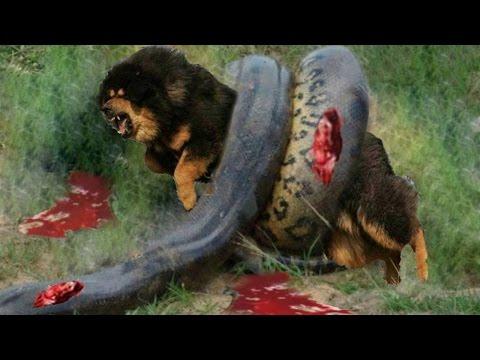 Giant anaconda vs Dog - pitbull Vs Snake fight - Giant anaconda attack - BIGGEST SNAKE – Gabel