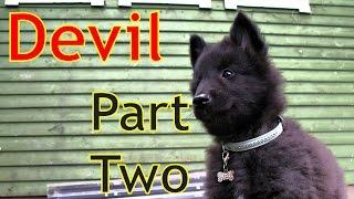 Devil, Belgian Groenendael puppy part 2