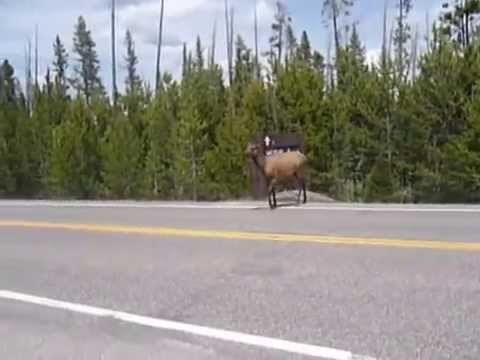 U.S  Yellowstone ( 1 ) Wyoming ( Wapiti , Elk )