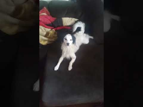 Doggo's after bath ritual pt. 2