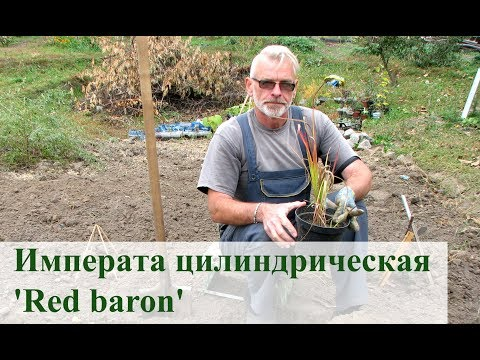 Императа цилиндрическая 'Red Baron'