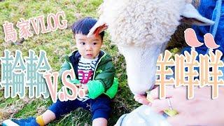 2018.12月的旅行,去福壽山農場賞楓前先來清境看羊咩咩,還有幫鳥先生慶...